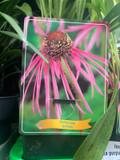 Echinacea - Pallida