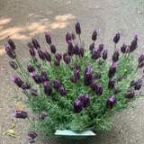 Lavandula Lamorosia 'Purple Flag'