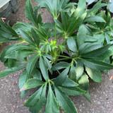 Hellebore foetidus (Helleborus)