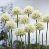 Allium 'Mont Blanc' - PACK of 1 bulb