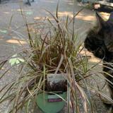 Uncinia rubra 'Everflame' - Elegrass Patio (Grass)