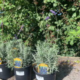 Lavandula Hidcote (Lavender)