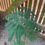 Acacia - 4ltr pot