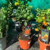 Citrus 'Mandarin'