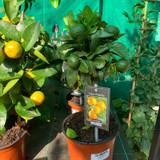 Citrus 'Purscha'