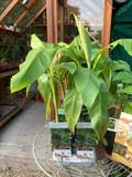 Musa basjoo - banana tree