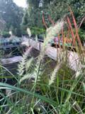 Pennisetum 'Karley Rose' (Grass)