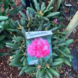 Rhododendron 'Polaris Pink'