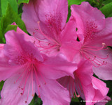 Rhododendron 'Cosmopolitan Pink'
