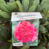 Rhododendron 'Sneezy Pink'