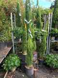 Cupressus semp. Totem 125-150cm