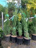 Cupressus semp. Totem 60-80cm