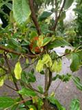 Halesia monticola var. vestita (Snowdrop tree)