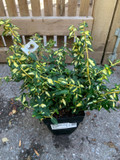 Euonymus fortunei 'Blondy' - 2ltr