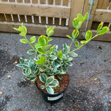 Euonymus japonicus 'President Gauthier' - 3ltr
