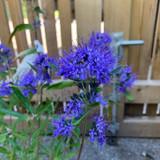 Caryopteris 'Kew Blue'