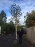 Betula Jacquemontii (Himalayan Birch) 14/16cm