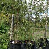 Betula Jacquemontii multi-stemmed (Himalayan Birch) 300/350cm