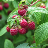 Raspberry 'Zeva' 10 canes.
