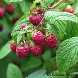 Raspberry 'Zeva' 3 canes.