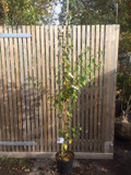Betula albosinensis 'Fascination' - 175/200cm
