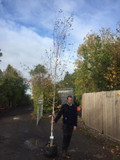 Betula Jacquemontii (Himalayan Birch) - 10/12cm (pot grown)