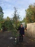 Cercidiphyllum japonicum (Katsura Tree) 8/10cm