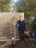 Eucalyptus gunnii 175/200cm