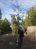 Eucalyptus pauciflora niphophila 8/10cm
