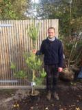 Pinus sylvestris 175/200cm