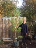 Pinus sylvestris 200/250cm
