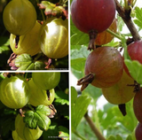 Gooseberry Selection - 3 Plants