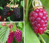 Berry Collection - 3 plants
