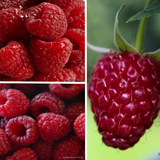 Raspberry Collection 3 varieties (9 Canes)