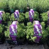 Lavender 'Hidcote' 4 pack