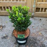 Euonymus jap. 'Green Spire' - 3ltr