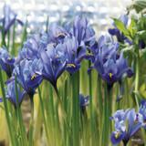 Iris ret. 'Alida' (species) - PACK of 24 bulbs