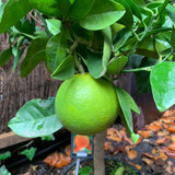 Citrus 'Orange'