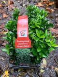 Euonymus jap. 'Green Spire' - 6 pack