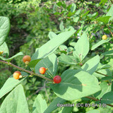 Rhamnus cathartica - Common Buckthorn