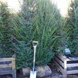 Taxus baccata (Yew) 175-200cm rootballed BULK RATES AVAILABLE