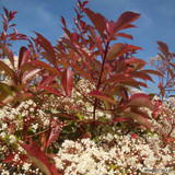 Photinia 'Red Robin' 125-150cm rootballed BULK RATES AVAILABLE