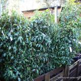 Portuguese Laurel (Prunus lus. 'Angustifolia') 100-125cm rootballed BULK RATES AVAILABLE