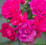 Minihaha - Climbing Rose