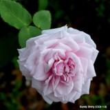 Souvenir de la Malmaison - Climbing Rose