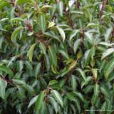 Portuguese Laurel (Prunus lus. 'Angustifolia') 150-175cm rootballed BULK RATES AVAILABLE