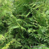 Thuja plicata (Western Red Cedar) 125-150cm rootballed BULK RATES AVAILABLE