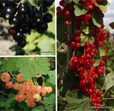 Currant Selection - 3 plants