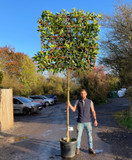 Pleached Holly (Ilex castaneifolia) 12/14cm girth