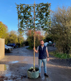 Pleached Hornbeam 12/14cm girth, 1.8m stem  (Carpinus betulus)